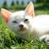 Fehér cica fekszik a fűben