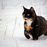 Foltos macska a téli tájon