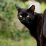 Fekete kandúr