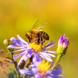méhecske 2